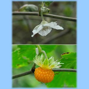 ハチジョウイチゴ
