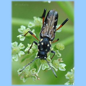 ハチジョウムネマダラトラカミキリ