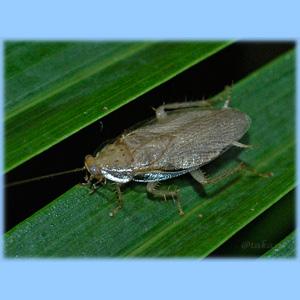 ウスヒラタゴキブリ