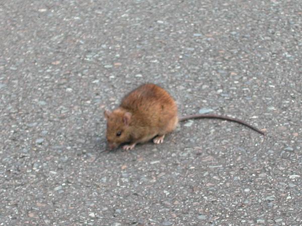 クマネズミの画像 p1_18