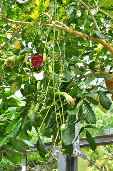 ソーセージノキの花