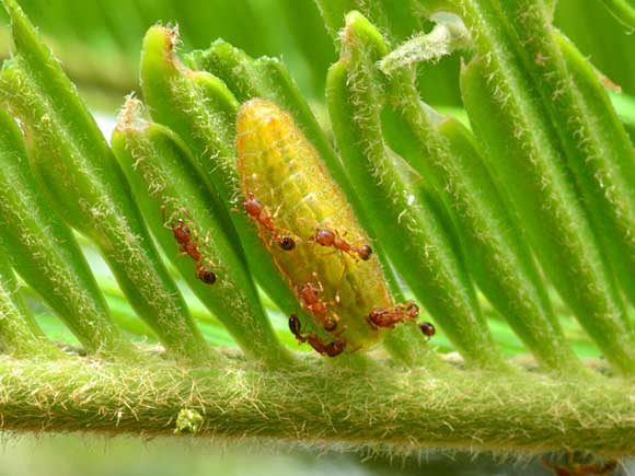 クロマダラソテツシジミ幼虫