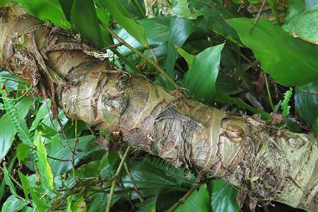 クワズイモの根茎