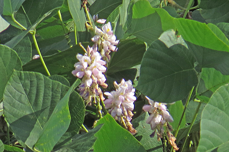 とき色の花
